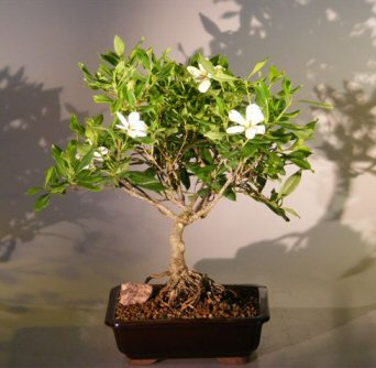 Flowering Gardenia Bonsai Tree - Large Clump Style (jasminoides miami supreme)