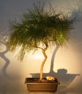 Image: Japanese Black Pine Bonsai Tree  - Curved Trunk (pinus thunbergii)