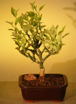 Image: Flowering Devil's Backbone Bonsai Tree  (pidilanthus tithymaloides - variegated)