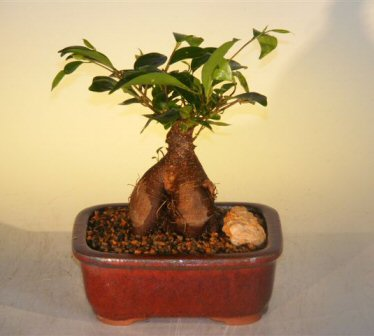 ginseng ficus bonsai tree small ficus retusa. Black Bedroom Furniture Sets. Home Design Ideas