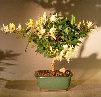 Flowering Japanese Honeysuckle Bonsai Tree - Medium(lonicera japonica 'halliana' purpurea) Image