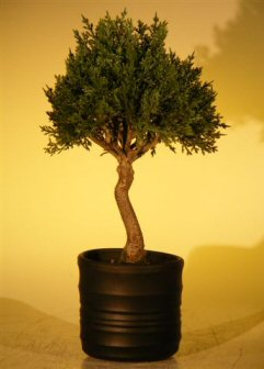 Image: Artificial Japanese Cedar Bonsai Tree