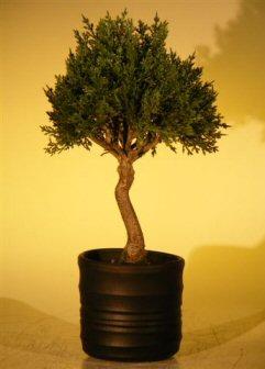 Image: Artificial Japanese Cedar Bonsai Tree