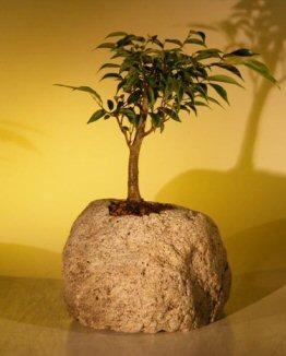 Image: Oriental Ficus Bonsai In Lava Rock (ficus benjamina 'orientalis')