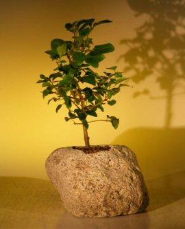 Flowering Ligustrum Bonsai Tree In Lava Rock (ligustrum lucidum)