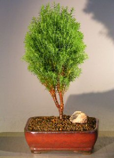Image: Northern White Cedar  (thuja occidentalis - Teddy)