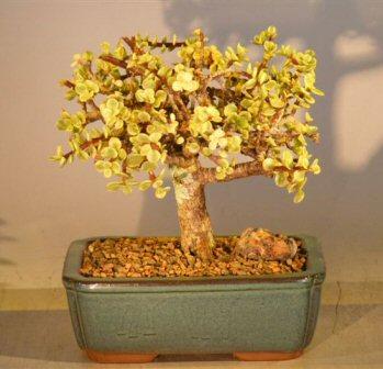 Image: Baby Jade  Bonsai Tree - Large -  Aged Variegated (portulacaria afra variegata)
