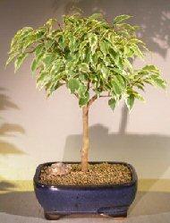 Image: Ficus Bonsai Tree Small - Variegated (ficus benjamina)