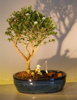 Flowering Mount Fuji  Bonsai Tree <br>Land/Water Pot  - Medium<br><i>(serissa foetida)</i>