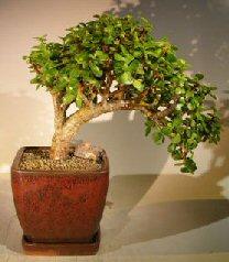 Image: Baby Jade  Bonsai Tree - Cascade Style Large (Portulacaria Afra)