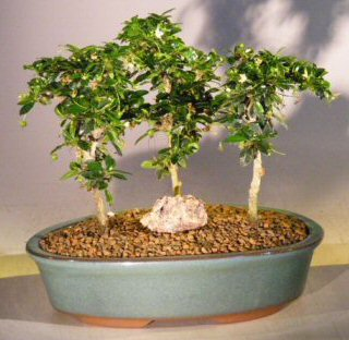 Image: Fukien Tea Bonsai Tree Three Tree Forest Group (ehretia microphylla)