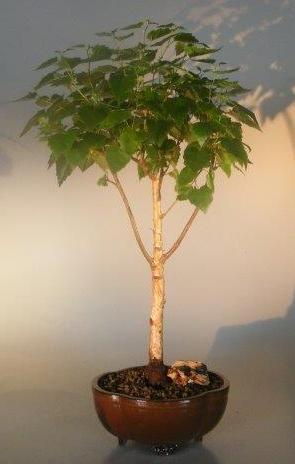 Weeping White Birch Bonsai Tree Betula Pendula
