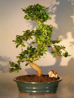 Image: Fukien Tea Flowering Bonsai Tree Curved Trunk - Extra Large  (ehretia microphylla)