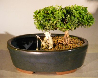 Image: Japanese Kingsville Boxwood Bonsai Tree Land/Water Container - Medium (buxus microphylla compacta)