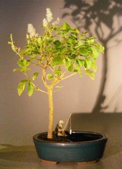 Flowering Ligustrum Bonsai Tree in a Water Pot (ligustrum lucidum)