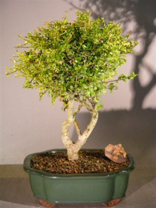 Image: Flowering Tropical Boxwood Bonsai Tree - Large  (neea buxifolia)