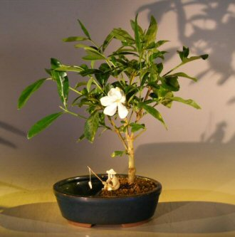 Flowering Gardenia Bonsai Tree - Water Pot (gardenia jasminoides)