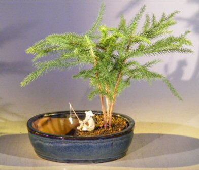 Norfolk Island Pine Bonsai Tree <br> Land/Water Pot- Medium <br><i>(Araucaria Heterophila)</i>