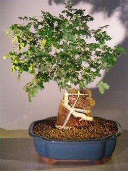 Texas Ebony Bonsai Tree Root Over Rock Pithecolobium Flexicaule