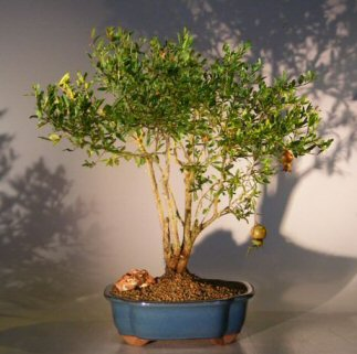 Flowering & Fruiting Dwarf Pomegranate Bonsai Tree - Large<br><i>(punica granatum)</i>