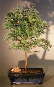 Image: Silver Cypress (chamecyparis pisifera 'Boulevard')