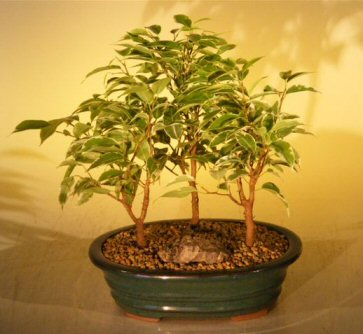 Image: Ficus Bonsai Tree 3 Tree Forest Group- Variegated  (ficus benjamina)