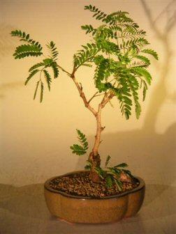 Flowering Mimosa Bonsai Tree Medium Leucaena Glauca