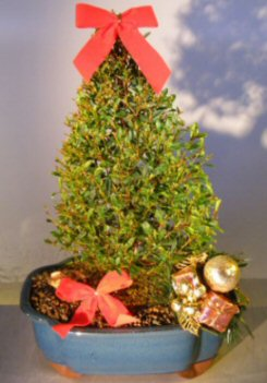 Image: Flowering Brush Cherry - Christmas Tree Style - Includes Holiday Decorations (eugenia myrtifolia)