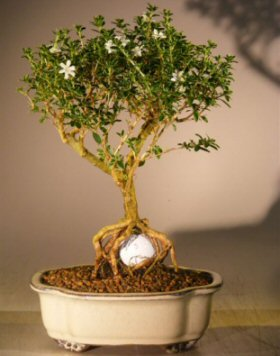 Flowering mount fuji serissa with golf ball serissa for 1800 flowers bonsai