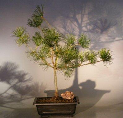 Image: Japanese White Pine Bonsai Tree (pinus parvifolia 'gimborn's pyramid')