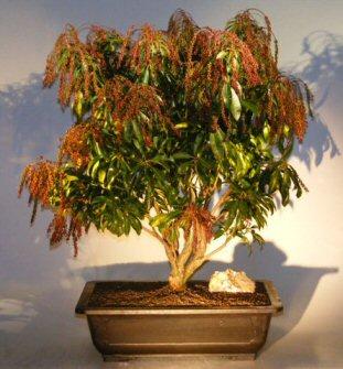 Flowering Japanese Andromeda Bonsai Tree Large Pieris Japonica Valley Valentine