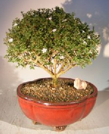Image: Chinese Flowering White Serissa  Bonsai Tree of a Thousand Stars (Serissa Japonica)