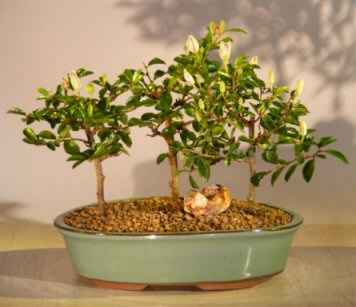 Flowering Lavender Star Flower Bonsai<br>3 Tree Forest Group<br><i>(Grewia Occidentalis)</i>