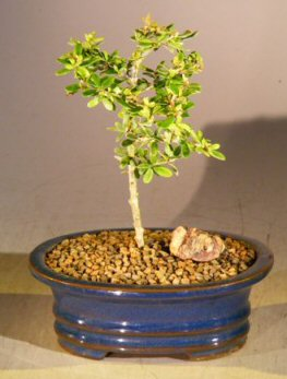 Flowering Tropical Boxwood Bonsai Tree - Small<br><i>(neea buxifolia)</i>