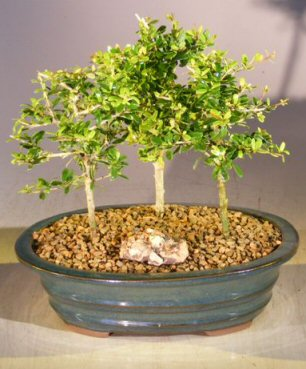 Flowering Tropical Boxwood Bonsai Tree <br>3 Tree Forest Group <br><i>(neea buxifolia)</i>