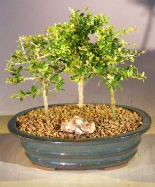 Flowering Tropical Boxwood Bonsai Tree 3 Tree Forest Group (neea buxifolia) Image