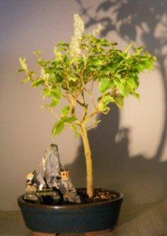 Flowering Ligustrum Bonsai Tree – Stone Landscape Scene (ligustrum lucidum)