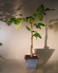 Image: Melogold Grapefruit (Citrus Paradisi 'Macfadyen')