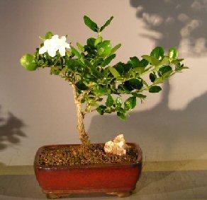 Image: Flowering Dwarf Plum - Medium (carissa macrocarpa)