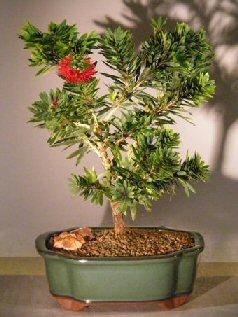 Flowering Bottlebrush - Little John - Large(callistemon Citrinus Little John)