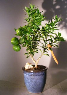 Image: Flowering Chinotto Orange Bonsai Tree    (Citrus Myrtifolia Rafunergue)