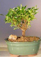 Image: Ficus Retusa- Small (Melon Seed)