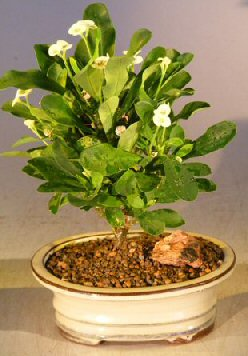 Flowering Crown of Thorns Bonsai Tree – Cream / Yellow (euphorbia milii)