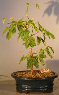 Flowering Mimosa – Small (mimosa pudica)