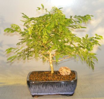 Image: Flowering Princess Earrings Bonsai Tree - Medium