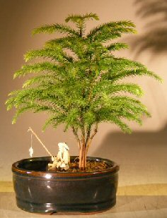 Norfolk Island Pine Bonsai Tree <br>Land/Water Pot - Small <br><i>(Araucaria Heterophila)</i>