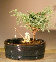 Image: Blue Moss Cypress Bonsai Tree Water/Land Container - Small (Chamecyparis glauca minima)