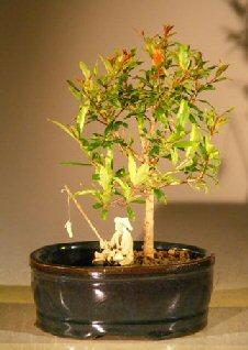Flowering Dwarf Pomegranate Bonsai Tree Land Water Pot Small Punica Granatum