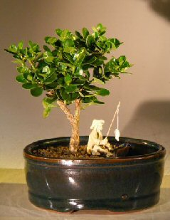 Flowering Dwarf Plum Bonsai Tree<br> Water/Land Container - Small<br><i> (carissa macrocarpa)</i>