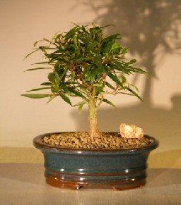 Willow Leaf Ficus Bonsai Tree – Small (Ficus Nerifolia/Salisafolia)
